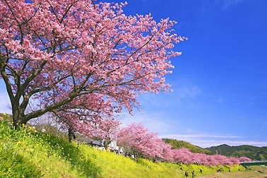 kawadu-sakura.jpg