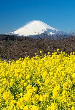 azumayama-nanohana.jpg