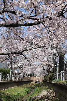 nomigawa-sakura.JPG