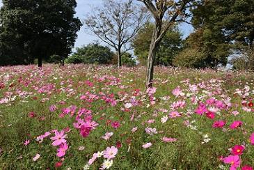 syouwakinen-park kosumosu.jpg